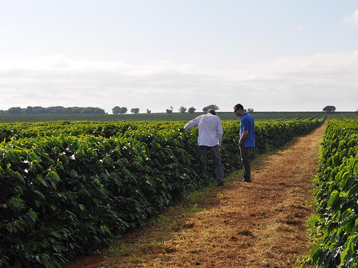 cafe kreyol organic coffee farmers Brazil Yellow Catuai Brazil 01